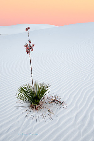 Yucca Plant and Dunes