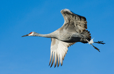 Sandhill crane, Bosque de Apache National Wildlife Refuge