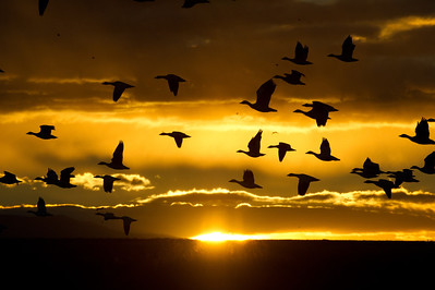 Snow geese, Chen caerulescens, at Bosque del Apache National Wildlife Refuge, New Mexico, in sunrise light.