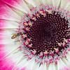 Hover Fly on Gerbera Daisy
