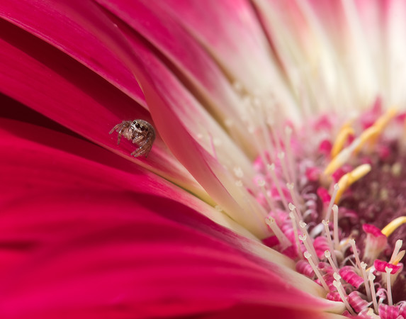 Tiny Spider on Gerbera Daisy