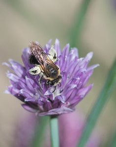 Bee Loaded with Pollen on Chive Flower