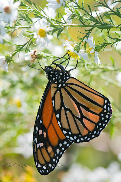Monarch Butterfly on Frost Aster