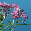 Bumble Bee on Swamp Milkweed