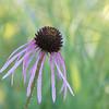 Wild Echinacea