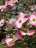 Closeup of pink dogwood