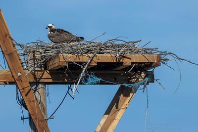 Fishing Line on Osprey Nest