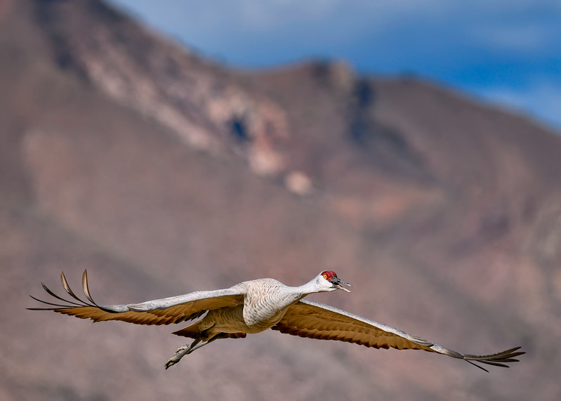 Sandhill Crane Airborne Grace