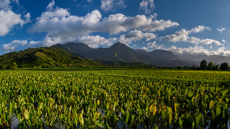 Taro Fields of  Hanalei Valley