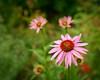 Fresh Echinacea Blossoms