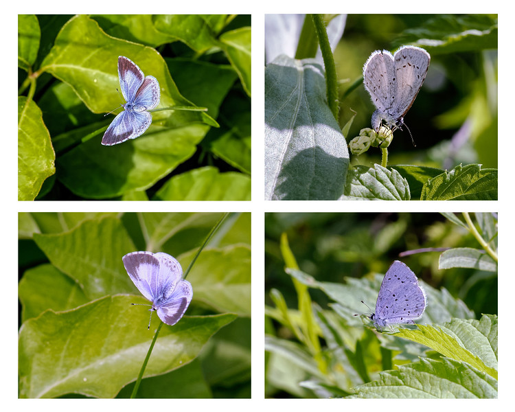 Celastrina humulus: the Hops Blue Butterfly