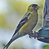 Macro Finch on my feeder...