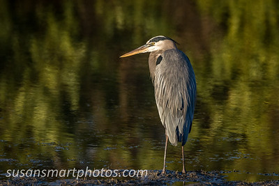 Great Blue Heron in Gasparilla Sound