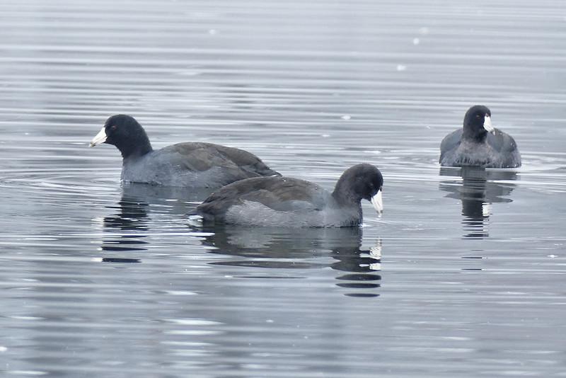 American Coot, Collins Lake, Scotia, NY November 2014