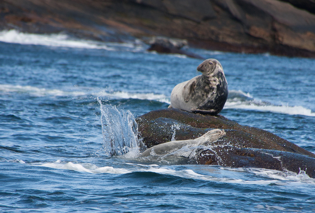 Grey Seal on Bird Island, Sydney