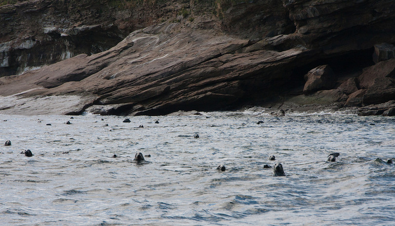 Grey Seals, Bird Island,, Sydney, Nova Scotia