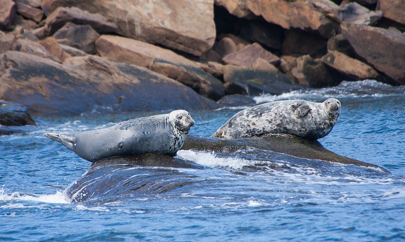 Grey Seals, Bird Islands, Sydney