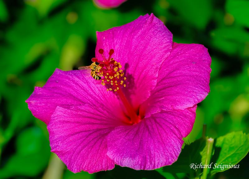 Hibiscus, Balboa Park