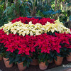 Poinsettia Display Botanical Bldg Balboa Park 2016 - 2