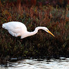 White Egret Patiently Fishing