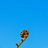 Baby Koru, blue sky. October 13, 2016