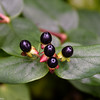 The berries of the Tutsan shrub are said by some to be poisonous and by others not to be but horrible to the taste. The birds seem to know that and leave them alone.