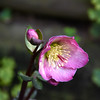 The helebores are blooming nicely despite the cold and the wet. This is one of several in bloom in our garden. August 9, 2015.