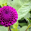 This purple came a close second in the flowering pompom dahlia race this season. This one is newly planted so this is its first bloom. December 25, 2016