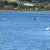 A black swan, a spoonbill, and a white-faced heron all getting along just fine in the Pauatahanui Inlet. May 2, 2017