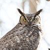 Great Horned Owl Spring 2018-2
