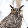 Great Horned Owl Spring 2018-2