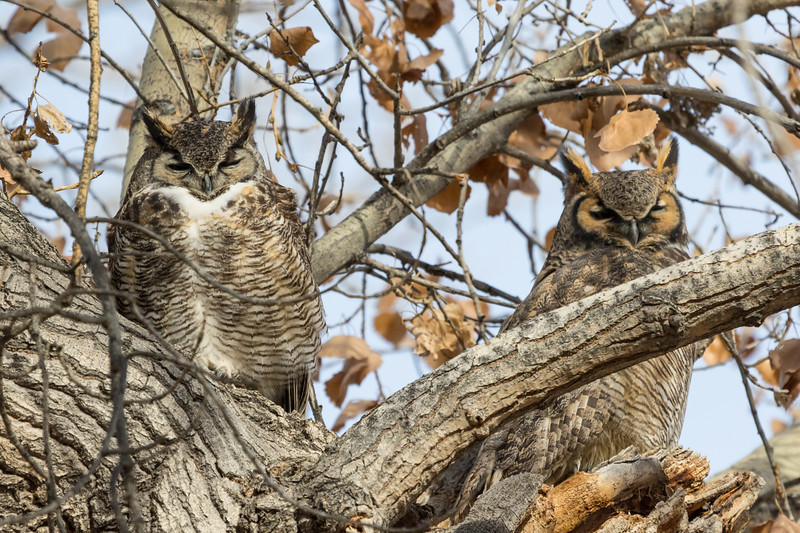 Great Horned Owl Pair-9360