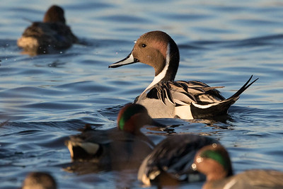Northern Pintail Winter 2018-2