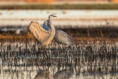 Sandhill Cranes Winter 2018-2