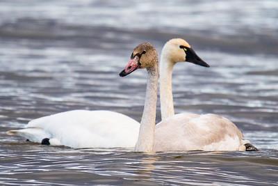 Tundra Swans 2020-2