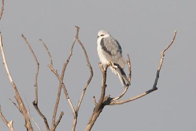 White-tailed Kite Winter 2018-1
