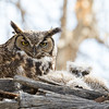 Great Horned Owl Spring 2018-5