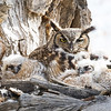 Great Horned Owl Spring 2018-4