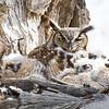 Great Horned Owl Spring 2018-4