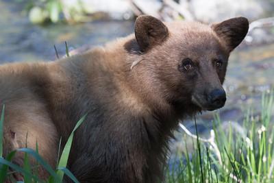 Tahoe Bear Summer 2018-3479