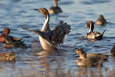 Northern Pintail Winter 2018-1