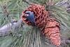 Pygmy Nuthatch-9439