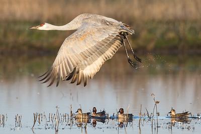 Sandhill Cranes Winter 2018-12