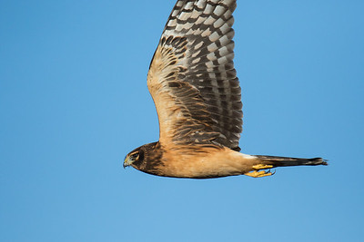 Northern Harrier Fall 2018-3707