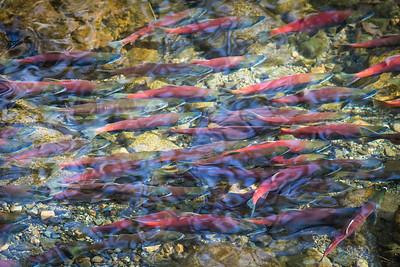 Kokanee Salmon Fall 2018-5