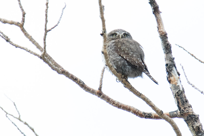 Northern Pygmy-Owls Spring 2018-3