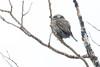 Northern Pygmy-Owls Spring 2018-3
