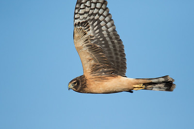 Northern Harrier Fall 2018-3710