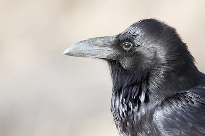 Raven-0359