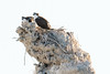 Osprey tufa nest spring 2018-1